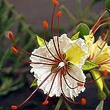 Benoon Delonix Decaryi Tree Seeds, 15Pcs / Bolsa Delonix Decaryi Tree Seeds Rare Evergreen Good Harvest Easy Care Poinciana Seeds For Home Semilla