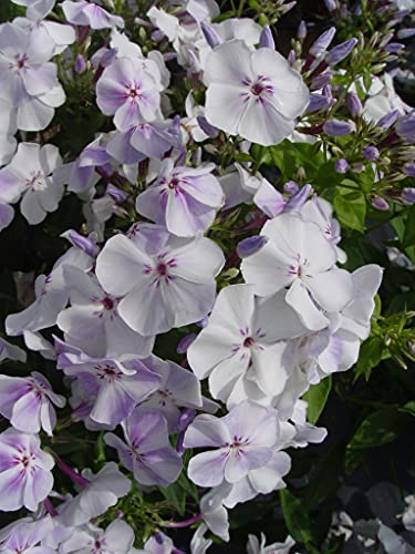 Live plant from Green Promise Farms Volcano Lilac Splash (Garden Phlox) Perennial, 2-Size Container, Lavender and White Flowers