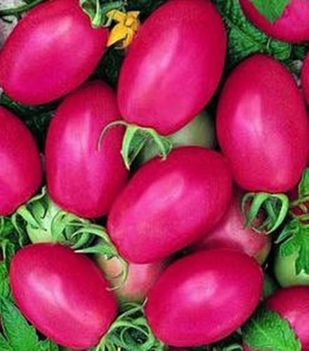 Porter des semences améliorées de tomate