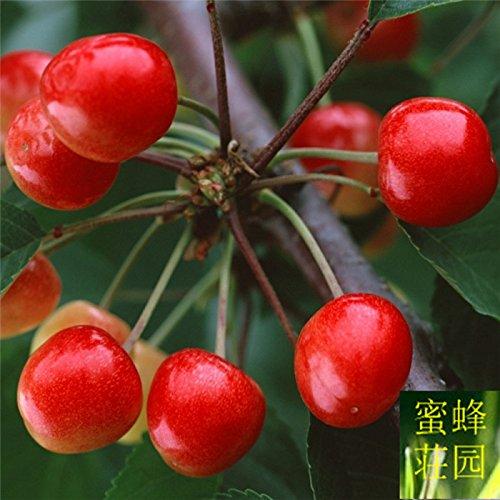 graines de cerisier coin de pêche Jing Tao arbres fruitiers cerise rouge 20 graines