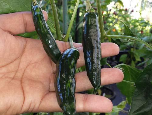 ScoutSeed Wunderschöner Chili-Grün-Streifen - Eine milde Hitze und EIN wenig süßer Aroma-Pfeffer