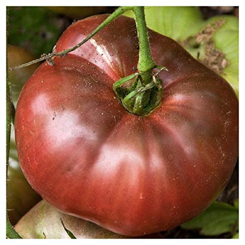 "Premier Seeds Direct Tomaten ""Cherokee Lila"" beinhaltet 100 Samen"