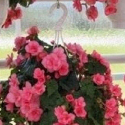Begonia - Charisme Rose - 10 Graines