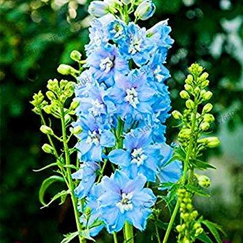 VISTARIC 11: Double Dahlia Seed Mini Mary Fleurs Graines Bonsai Plante en pot bricolage jardin odorant Fleur, croissance naturelle de haute qualité 50 Pcs 11