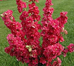 Seeds Delphinium Red King Flower Giant Annual Outdoor Garden Cut Ukraine for Planting