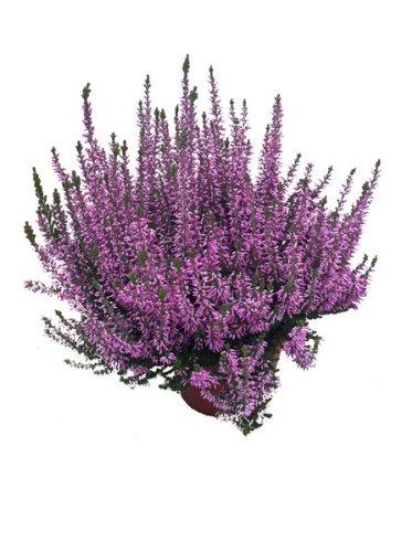 Calluna Beatuy Lady´s Lila, winterheide, Besenheide, Calluna vulgaris