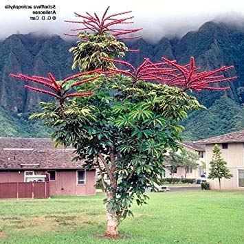 ASTONISH Pacchetto semi: 10 Semi di Schefflera actinophylla Ariaceae - seme Umbrella