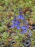 Veronica teucrium Königsblau - Großer Ehrenpreis, 6 Pflanzen im 5/6 cm Topf
