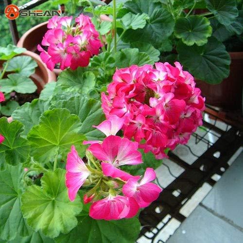 Green Seeds Co. Plantes en pot de fleurs de géraniums rouges et blanches en pot de balcon Diy Home Garden 20 pièces/lot: prune