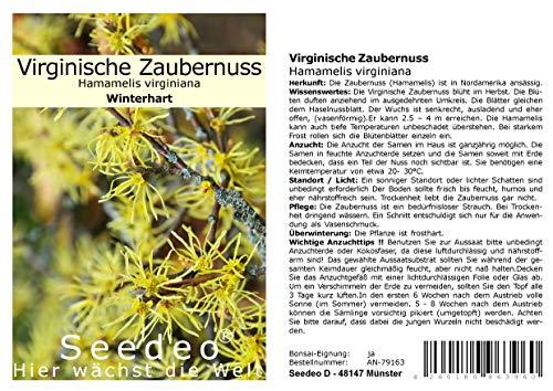 Seedeo® Virginische Zaubernuss (Hamamelis virginiana) 30 Samen