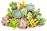 Succulent Plants (12 Pack) Fully...