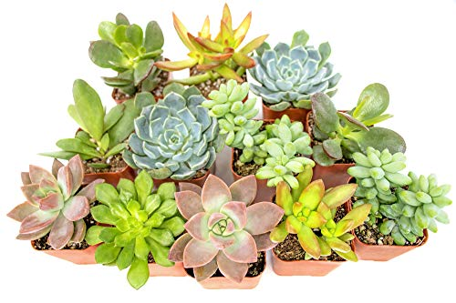 Succulent Plants (12 Pack) Fully Rooted in Planter Pots with Soil | Real Live Potted Succulents /...