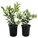 """AMERICAN PLANT EXCHANGE Meyer Lemon and Key Lime Tree Live Plant Indoor Outdoor Citrus Bundle, Two 7"""" Pot 14-18"""" Tall, Yellow and Green Fruit"""