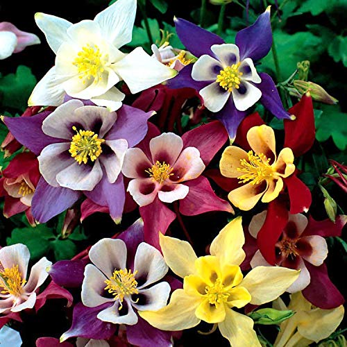 UtopiaSeeds Columbine Seeds McKana Giant Mix - A Favorite Spring Perennial...