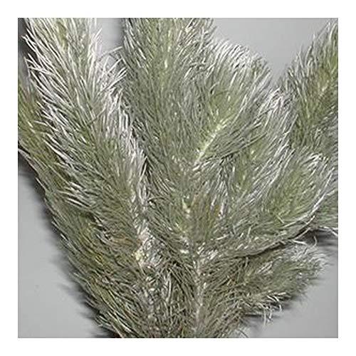 Aspalathus cinerascens - arbuste Afrique du Sud - 10 graines