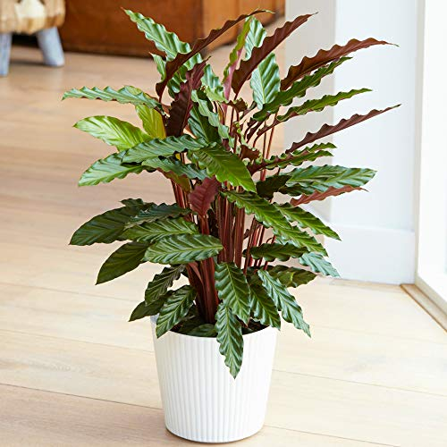 Lovely 30-40cm Potted Calathea Elgergrass Air Purifying Indoor Houseplants