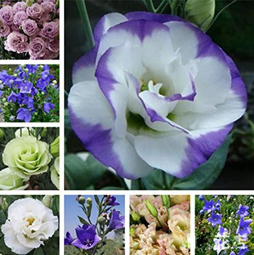 Misfarben Staudenblütenpflanzen Eustoma Samen 100 Pcs, Lisianthus Topfpflanzen Blumensamen, Mehrjährige Winterhart Sommer Farbenfrohe Blütenpracht für Hausgarten Balkon