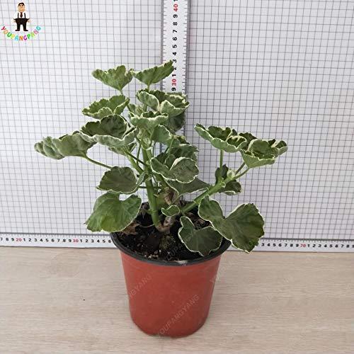 Generic Fresh 100 PCS Frische Geranienblumensamen zum Pflanzen von Grün