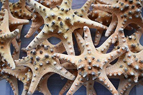 12 Extra Large Knobby Starfish 6' - 7' dried Beach Wedding Crafts Decor Sea Star Cute Nautical Coastal