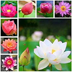 "Water Lily is a family of flowering plants.The blooms are held high above the water. Bonsai Lotus Seeds.Easy to plant and maintain. Both Attractive and Beneficial for your Pond. 20PCS Mixed Colors Plant Attracts Wildlife and Beauty. PLEASE read ""HOW ..."