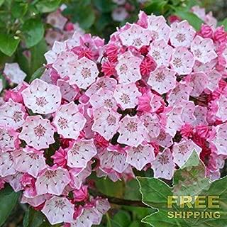 Mountain Laurel Kalmia Latifolia - 50 Seeds