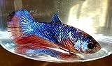 SevenSeaSupply 1 x Live Female Betta - Half Moon Diamond Freshwater Fish