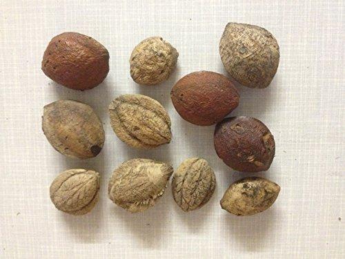 garnelenshop24de 5 Seemandelbaum Saatmandeln (eigener Baum für Seemandelbaumblätter)