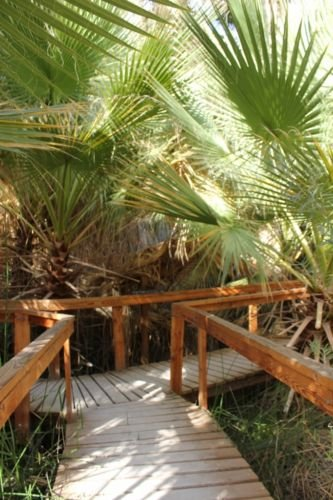 Palm, Kalifornien Fächerpalme, Washingtonia Filifera, 10 Samen! Groco