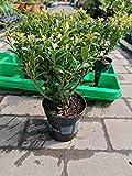 Ilex maximowicziana 'Kanehirae' 25 cm / 6 Pflanzen - Stechpalme Heckenpflanzen - Idealer Buchsbaum-Ersatz