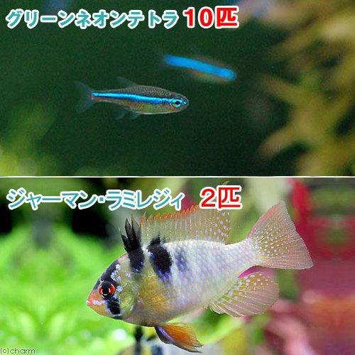(熱帯魚)グリーンネオンテトラ(10匹) + ジャーマンラミレジィ(2匹) 北海道・九州航空便要保温