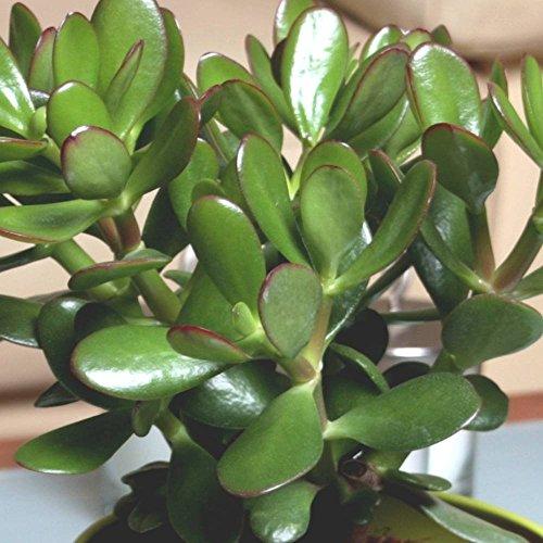 Dickblatt portulacea Gollum Jade