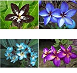 Set 4 Cutting Fragrant PLUMERIA'S Cutting with Rooted 7-12 INCH