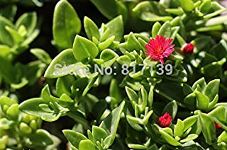 aptenia cordifolia seeds