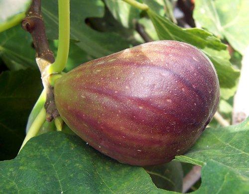 Winterharte Süße Feige 10 Samen -ficus-