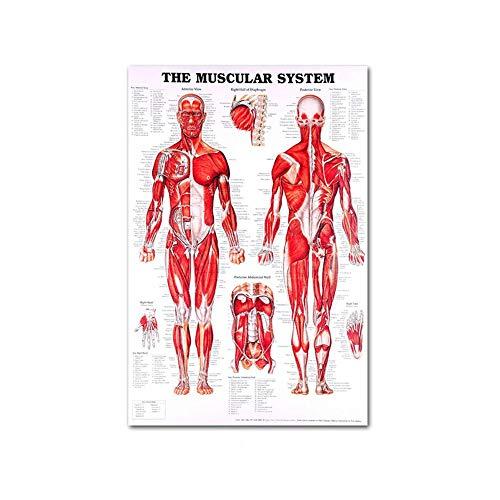 aheadad Pädagogisches Diagramm-Anatomie-Plakat Wissenschaftliches Muskel-System-Lerndiagramm-Muskel-Skelett 50 70cm Das Menschliche Muskel-Plakat