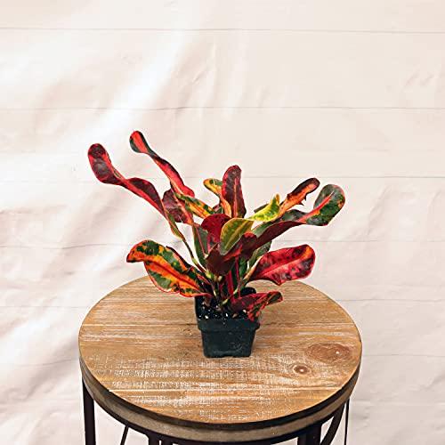 3 Live Croton Mammy codiaeum variegatum Tropical houseplant in Growers Pot 47385
