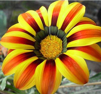 graines gazania, Gazania graines en pot, Gazania semences de fleurs, variété complète, le taux de bourgeonnement 99% Mélange de couleurs - 10 pcs / sac
