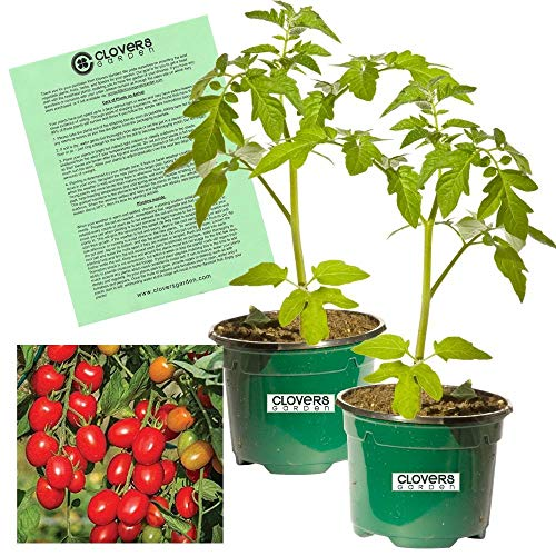 """Clovers Garden 2 Candyland Tomato Plants Live – 4"""" to 7"""" Tall, 3.5"""" pots – Non-GMO, Indeterminate, Vining or Currant-Type, Includes Copyrighted Clovers Care Guide"""