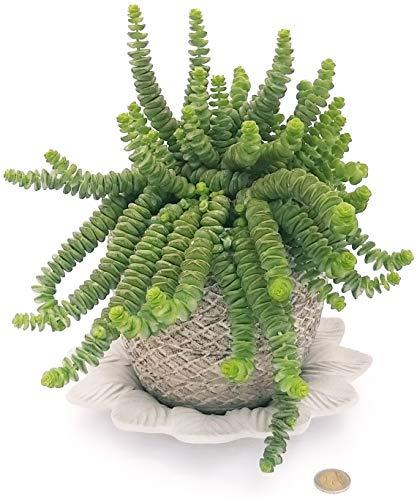 Crassol - Collar de jade de piedra y platillo de cerámica satinada, planta auténtica