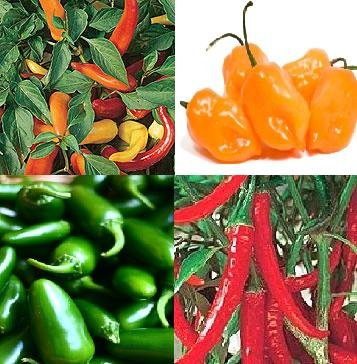 semillas de chile jalapeño, Tabasco, Habanero, Anillo O FUEGO