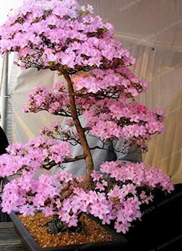 PAPCOOL Cherry Sẹẹds 10 Sakurạs Bonsai Trẹẹ Sẹẹds Japanese Cherry Blossom RareSeeds Plantịng