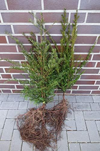 10 Eiben 50-80cm frisch vom Feld Gartenhecke Heckenpflanzen Immergrüne Pflanze Taxus baccata Eiben