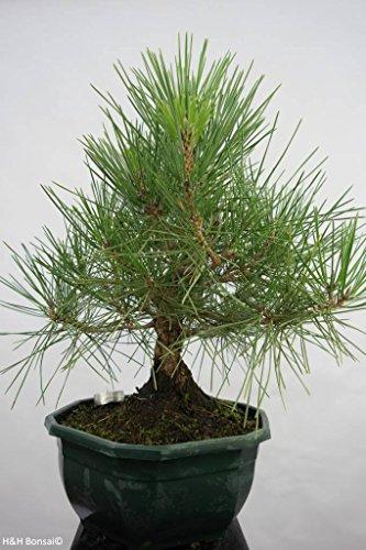 Pinus thunbergii (Japanische Schwarzkiefer)-Samen