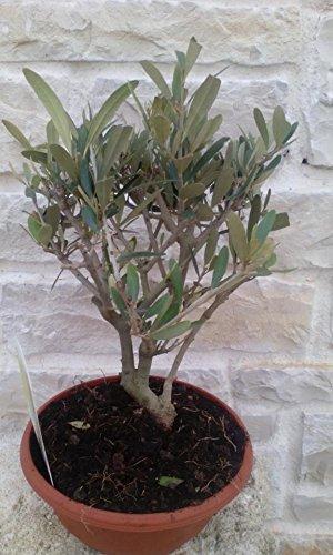 Pianta di Ulivo Piante Ulivo Bonsai Olea Europea in Vaso - H 35 cm circa