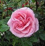 Rosa Pretty Polly Miniature Patio Rose Supplied in a 3 Litre Pot