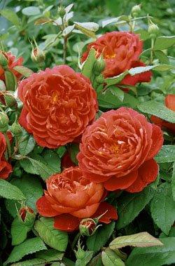 'Benjamin Britten' -R-, Englische Rose in A-Qualität Wurzelware