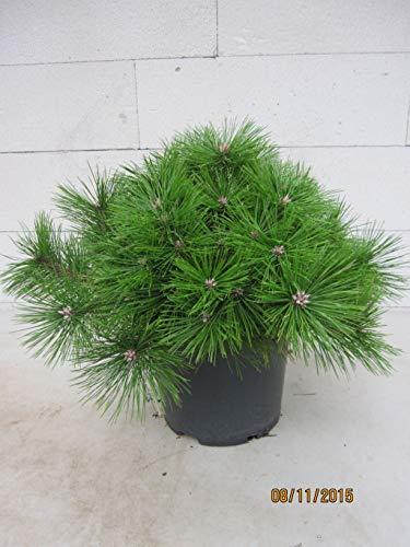 Pinus densiflora Jane Kluis - japanische Zwergrotkiefer Jane Kluis