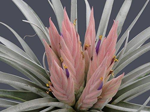 Tillandsia Carlsoniae ~ Air Plante ~ Broméliacées ~ Rare ~ Facile croissance ~ 5 graines ~