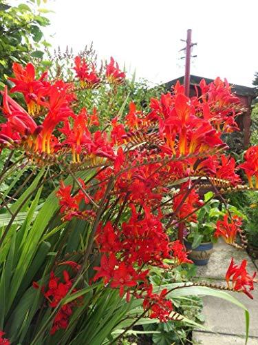 SANHOC Samen-Paket: Garten-Montbretie Red King - Montbretia - 3 s in 9cm PotsSEED