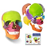 2021 Newest 15 Parts Palm-Sized Anatomy Exploded Skull Model,Detachable Mini Human Color Medical Skull Model Dental ClinicTeaching Equipment,Medical Teaching Learning (Colorful Skull)